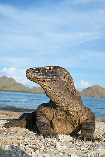 REP 02 MC0001 01 © Kimball Stock Komodo Dragon Laying On Beach