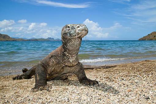 REP 02 MC0003 01 © Kimball Stock Komodo Dragon Laying On Beach