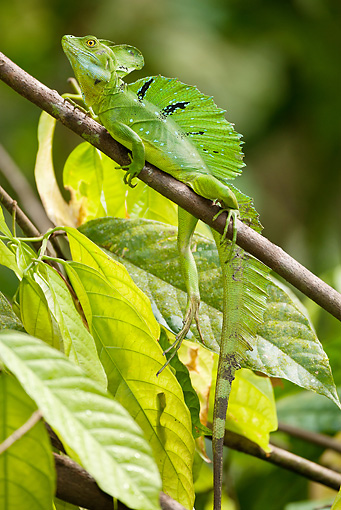 REP 02 MC0004 01 © Kimball Stock Plumed (Green) Basilisk Male Climbing On Tree Branch Costa Rica