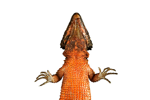 REP 02 MH0002 01 © Kimball Stock Underneath View Of Giant Girdled Lizard In Studio