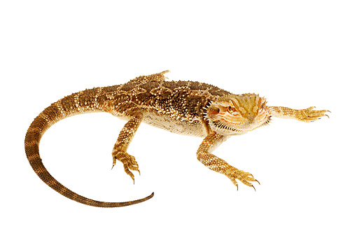 REP 02 MH0004 01 © Kimball Stock Overhead View of Central Bearded Dragon In Studio