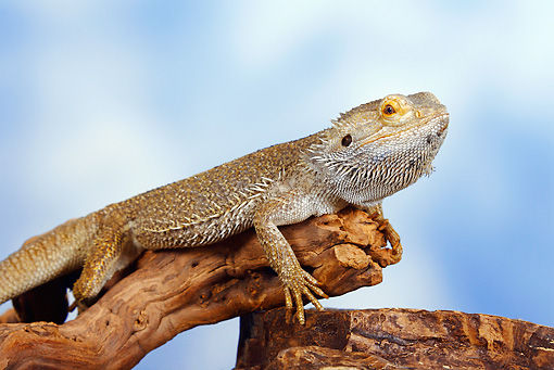 REP 02 PE0002 01 © Kimball Stock Close-Up Of Bearded Dragon Sitting On Branch