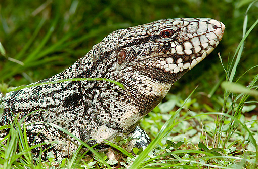 REP 02 WF0002 01 © Kimball Stock Head Shot Of Banded Tegu Laying On Grass South America