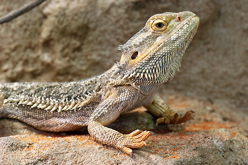 REP 02 WF0004 01 © Kimball Stock Close-Up Of Central Bearded Dragon Laying On Rock