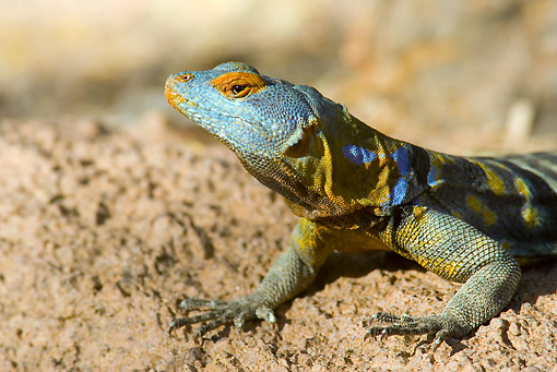 REP 02 WF0005 01 © Kimball Stock Close-Up Of Baja Blue Rock Lizard Male On Rock