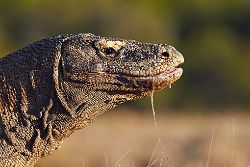 REP 02 WF0010 01 © Kimball Stock Head Shot Of Komodo Dragon