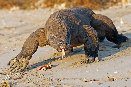 REP 02 WF0015 01 © Kimball Stock Komodo Dragon Walking On Sand And Flicking Tongue
