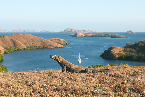 REP 02 WF0017 01 © Kimball Stock Komodo Dragon Sitting On Dry Grass Near Water And Boat