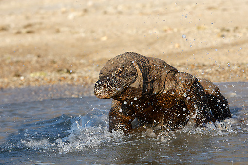 REP 02 WF0018 01 © Kimball Stock Komodo Dragon Walking Into Water