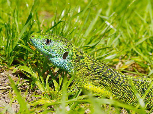 REP 02 WF0022 01 © Kimball Stock Portrait Of European Green Lizard Sitting In Grass