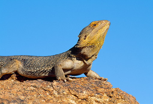 REP 02 WF0023 01 © Kimball Stock Central Bearded Dragon Male In Dominant Posture On Rock