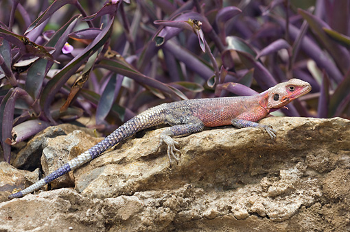 REP 02 NE0001 01 © Kimball Stock Rainbow Lizard Sunning On Rock By Purple Shrub Kenya