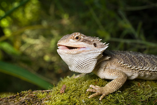 REP 02 RD0001 01 © Kimball Stock Bearded Dragon Sitting On Mossy Rock With Mouth Open