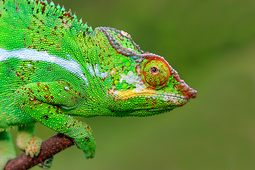 REP 03 AC0015 01 © Kimball Stock Panther Chameleon Portrait In Madagascar
