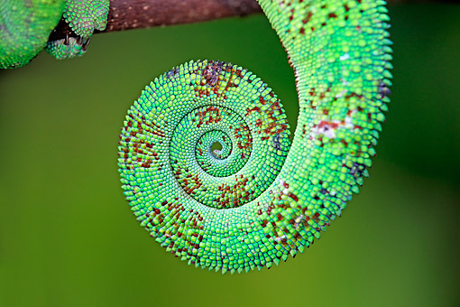 REP 03 AC0016 01 © Kimball Stock Panther Chameleon Tail In Madagascar