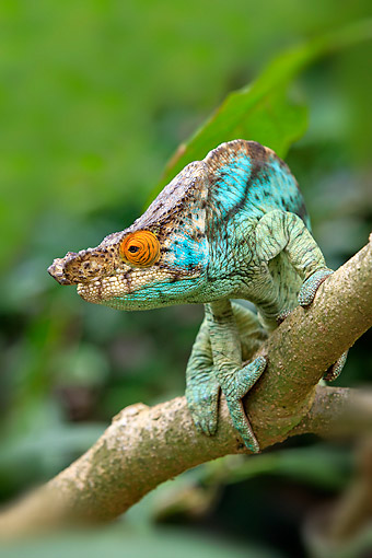 REP 03 AC0018 01 © Kimball Stock Parson's Chameleon Male Climbing Tree In Madagascar
