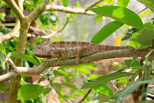 REP 03 AC0022 01 © Kimball Stock Malagasy Giant Chameleon (Also Called Oustalet's) Climbing Down Branch In Madagascar