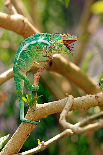 REP 03 AC0023 01 © Kimball Stock Malagasy Giant Chameleon (Also Called Oustalet's) Female Chomping Down On Bug