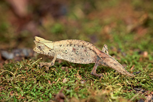 REP 03 AC0025 01 © Kimball Stock Horned Leaf Chameleon Crawling In Madagascar