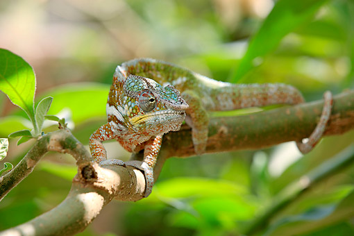 REP 03 AC0026 01 © Kimball Stock Globe-Horned Chameleon (Also Called Flat-Casqued Chameleon) Male Climbing Along Branch In Madagascar