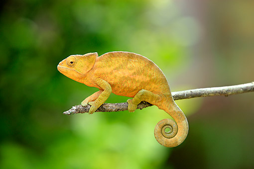REP 03 AC0028 01 © Kimball Stock Globe-Horned Chameleon (Also Called Flat-Casqued Chameleon) Male Climbing Along Branch In Madagascar