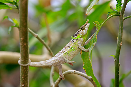 REP 03 AC0029 01 © Kimball Stock Chameleon (Calumma Malthe) Wrapping Tail Around Tree And Holding Onto Leaf In Madagascar