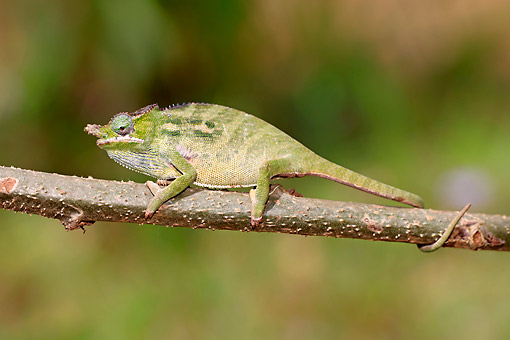 REP 03 AC0032 01 © Kimball Stock Big-Nosed (Nose-Horned) Chameleon Female Climbing Along Tree Branch In Madagascar