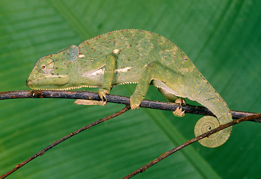 REP 03 GL0001 01 © Kimball Stock Chameleon Walking On Twig Profile