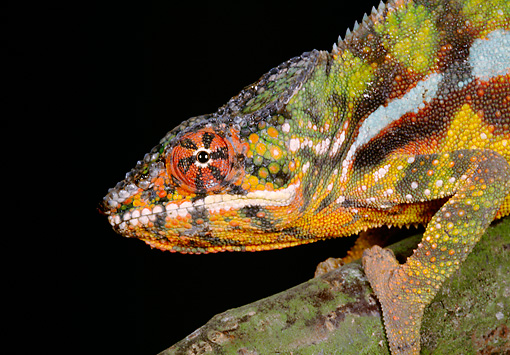 REP 03 GL0002 01 © Kimball Stock Head Shot Of Panther Chameleon Climbing On Branch In Dark