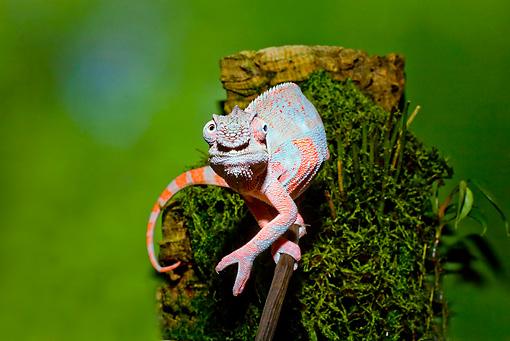 REP 03 JZ0001 01 © Kimball Stock Panther Chameleon On Mossy Stick Madagascar