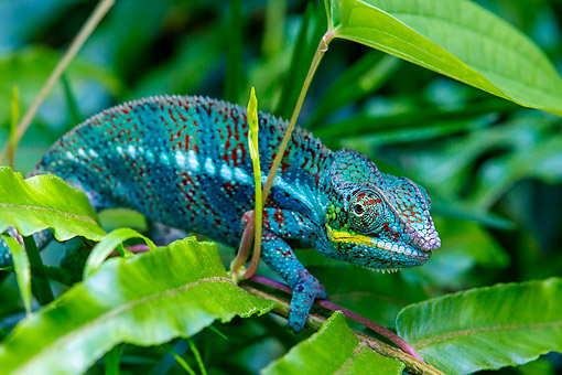 REP 03 KH0001 01 © Kimball Stock Panther Chameleon Walking On Branch