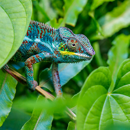 REP 03 KH0002 01 © Kimball Stock Panther Chameleon Walking On Branch