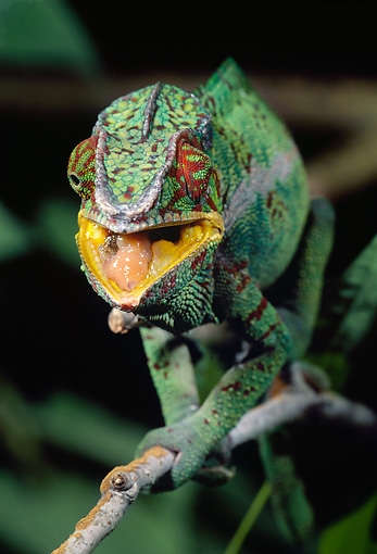 REP 03 MC0001 01 © Kimball Stock Portrait Of Panther Chameleon Walking Along Branch Madagascar