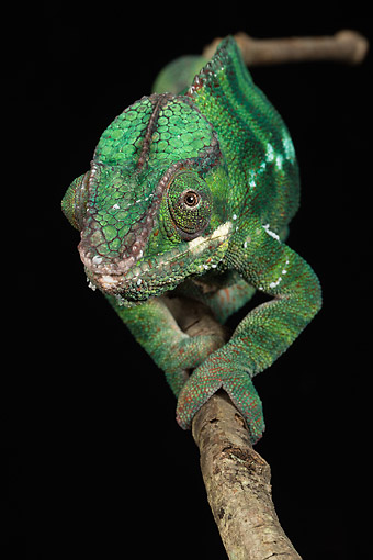 REP 03 MC0003 01 © Kimball Stock Panther Chameleon Walking Along Branch In Rainforest
