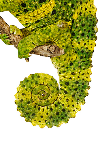 REP 03 MH0003 01 © Kimball Stock Close Up View Of Tail of Meller's Chameleon In Studio