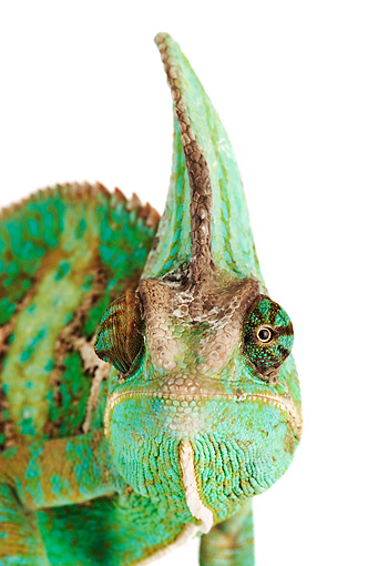REP 03 MH0009 01 © Kimball Stock Close Up Of Veiled Chameleon In Studio