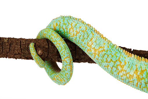 REP 03 MH0010 01 © Kimball Stock Close Up Of Veiled Chameleon's Tail Wrapped On Branch In Studio