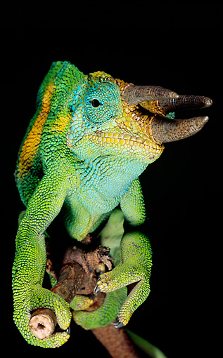 REP 03 MH0011 01 © Kimball Stock Close-Up Of Jackson's Chameleon Climbing On Branch On Black Seamless