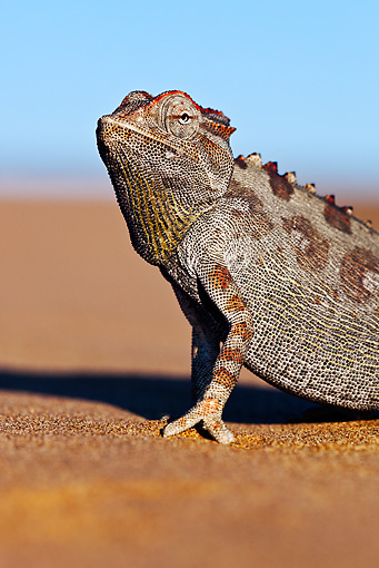 REP 03 MH0013 01 © Kimball Stock Portrait Of Namaqua Chameleon On Sand Namib Desert
