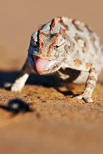 REP 03 MH0014 01 © Kimball Stock Namaqua Chameleon Walking On Sand Namib Desert