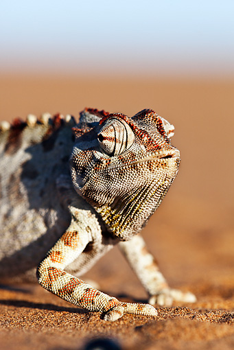 REP 03 MH0015 01 © Kimball Stock Namaqua Chameleon Walking On Sand Namib Desert