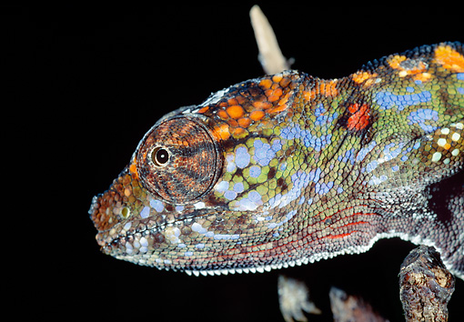REP 03 MH0018 01 © Kimball Stock Close-Up Of Horned Chameleon Female At Night Madagascar