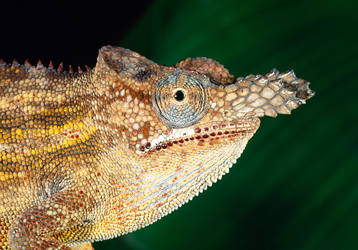 REP 03 MH0019 01 © Kimball Stock Close-Up Of Horned Chameleon Male At Night Madagascar
