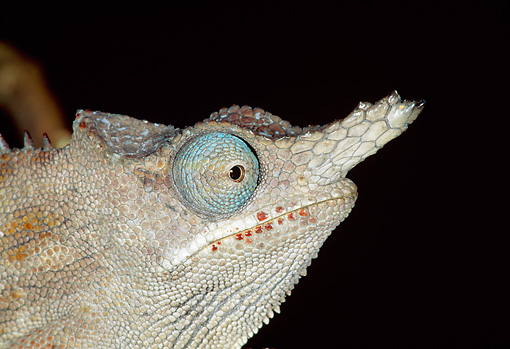 REP 03 MH0020 01 © Kimball Stock Close-Up Of Horned Chameleon Male At Night Madagascar
