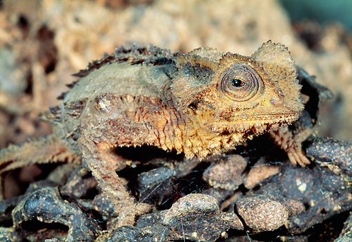 REP 03 MH0022 01 © Kimball Stock Close-Up Of Antsingy Leaf Chameleon Standing On Log Madagascar