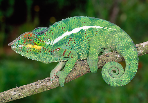 REP 03 MH0023 01 © Kimball Stock Panther Chameleon Climbing On Tree Branch Madagascar