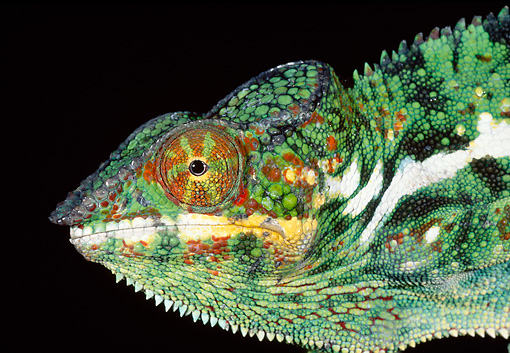 REP 03 MH0024 01 © Kimball Stock Head Shot Of Panther Chameleon In Dark Madagascar