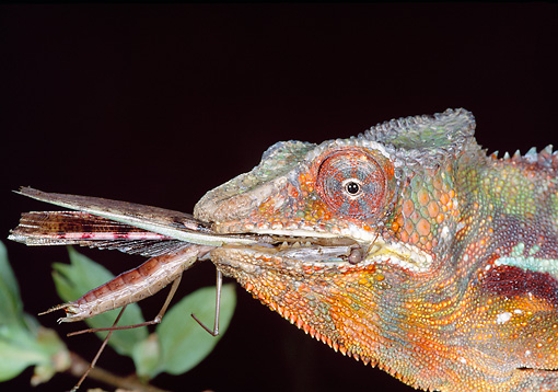 REP 03 MH0025 01 © Kimball Stock Head Shot Of Panther Chameleon Eating Insect Madagascar