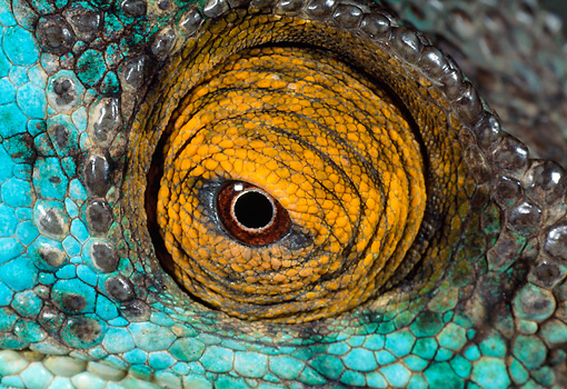 REP 03 MH0027 01 © Kimball Stock Close-Up Of Eye Of Parson's Chameleon Madagascar