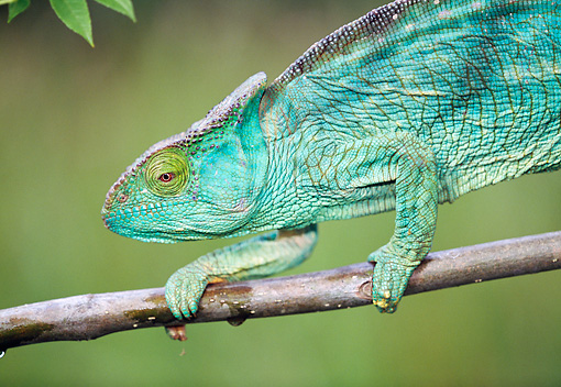 REP 03 MH0028 01 © Kimball Stock Close-Up Of Parson's Chameleon Female Crawling Along Tree Branch Madagascar
